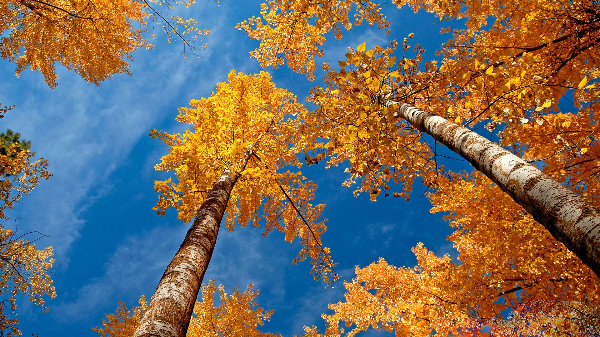 Free autumn wallpaper featuring an upward view of yellow-leafed trees against a blue sky.