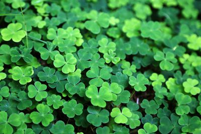 Close up of a bunch of green clovers