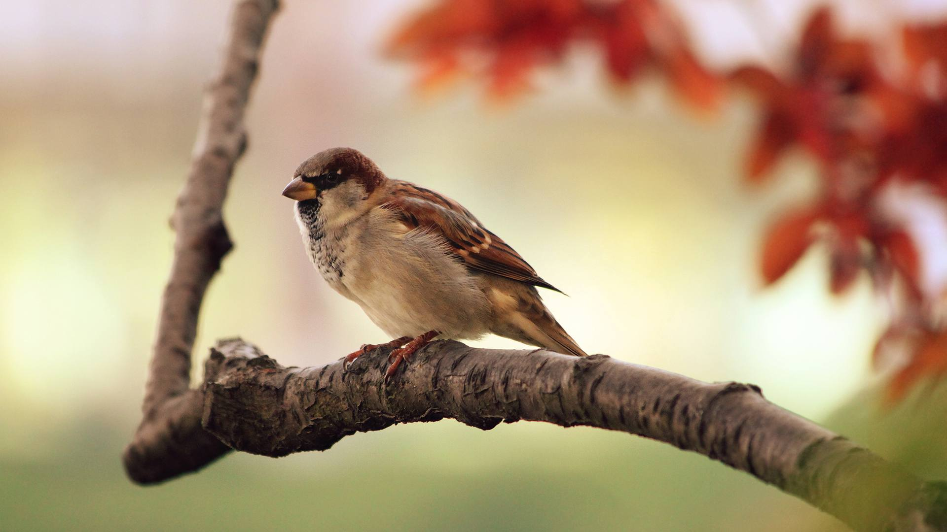 Free autumn wallpaper featuring a sparrow sitting on a branch.